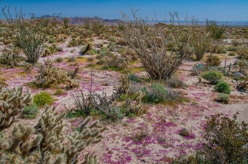 Anza Borrego Desert Flowers Plant Growth Beauty In Nature Tranquil Scene Tranquility No People Land Scenics - Nature Nature Sky Environment Day Landscape Field Non-urban Scene Flower Flowering Plant Desert Grass Outdoors Climate Arid Climate Anza Borrego