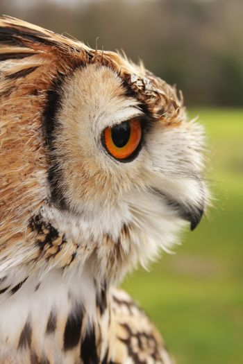 Brown Feathers Beak Animal Lover Owner Leather Glove Bird Of Prey Owl Pround Animal Keeper Trainer Claws Perch Perched Side View Park Zoo Orange Eyes Night Owl Close Up Side View Animal Head Shot Hunted Flying