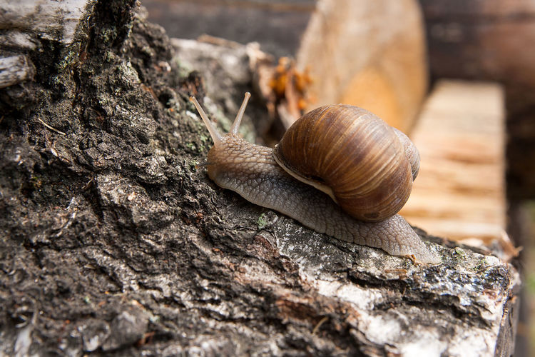 Animal Animal Body Part Animal Shell Animal Themes Animal Wildlife Animals In The Wild Close-up Day Gastropod Invertebrate Mollusk Nature No People One Animal Rock Selective Focus Shell Snail Solid Tree Trunk
