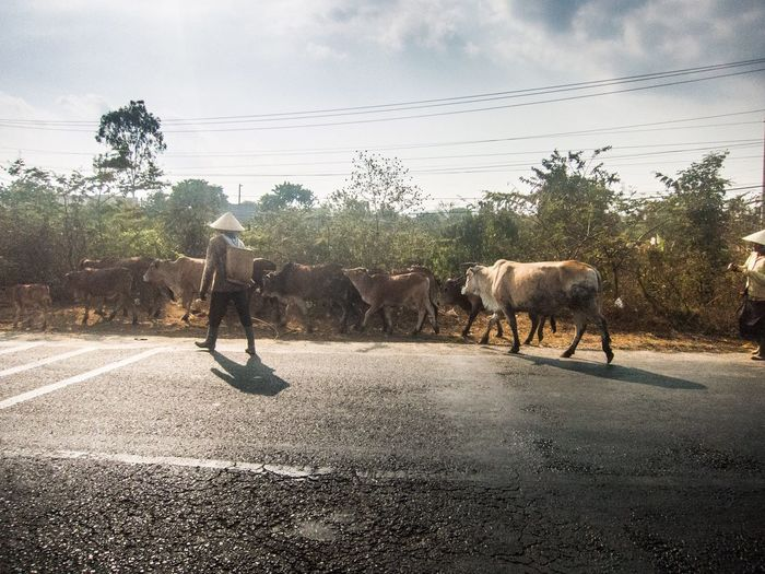 Rear view of herder herding cows on road against cloudy sky