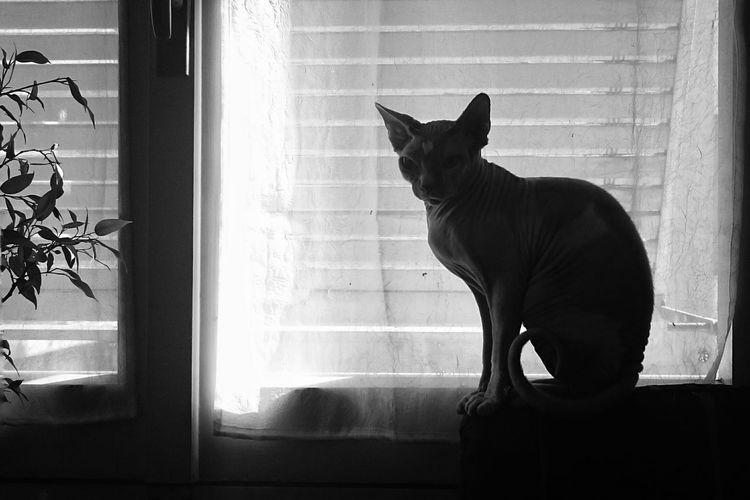 Sphynx Hairless Cat Sitting On Window Sill Against Curtain