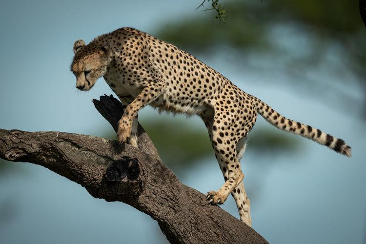 Cheetah standing on tree trunk