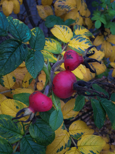 Autumn Colors Cityscapes Foggy Day Fruit Leaves November Red Yellow Green Rugosa Rose