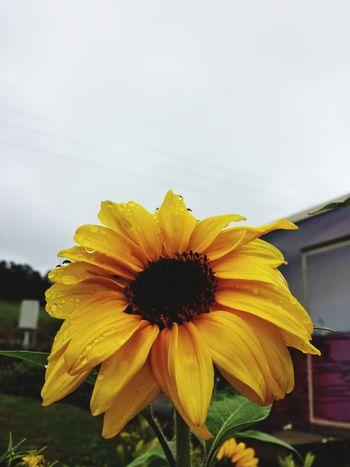 Sunflower Flower Nature Rain Upclose  Yellow Nopeople SK  Greysky Tasmania Godshill Australia Winetasting