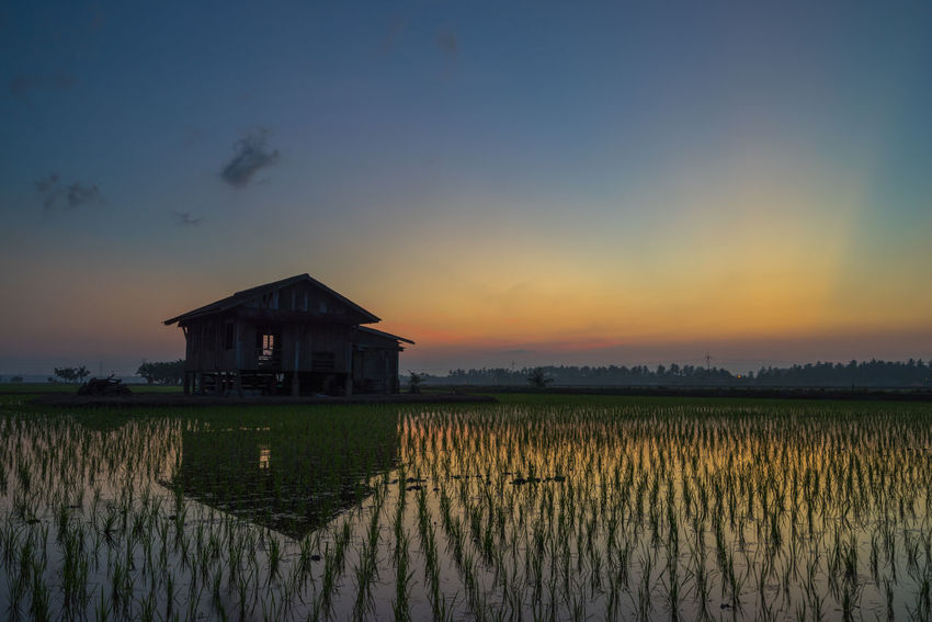 Abandoned wooden house in middle of paddy field with a sunrise sky in the background. Agriculture Architecture Beauty In Nature Building Exterior Built Structure Crop  Farm Field Growth In Front Of Nature Outdoors Pier Plant Rural Scene Scenics Sky Standing Water Sun Sunrise - Dawn Sunset Tranquil Scene Tranquility Vineyard Water