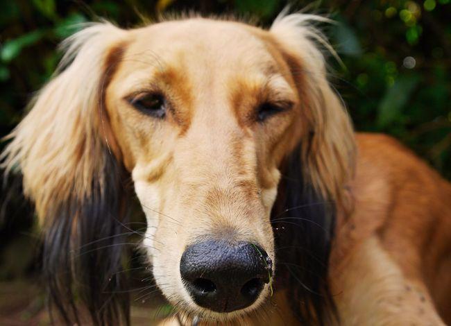 Animal Theme Close-up Dog Dog Love Domestic Animals Focus On Foreground Mammal One Animal Saluki Selective Focus Tiered