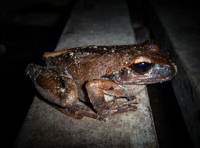 One Animal Animal Themes High Angle View Brown Frog Close-up Pets Animal Head  Domestic Animals Zoology No People Animals In The Wild Frog Frog Collection Reptile Photography Frog Portrait Reptiles & Amphibians Frog Photography