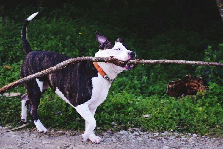 Pets Dog Animal Themes