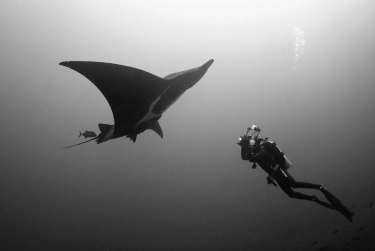 Low Angle View Of Scuba Driver Swimming With Manta Ray In Sea