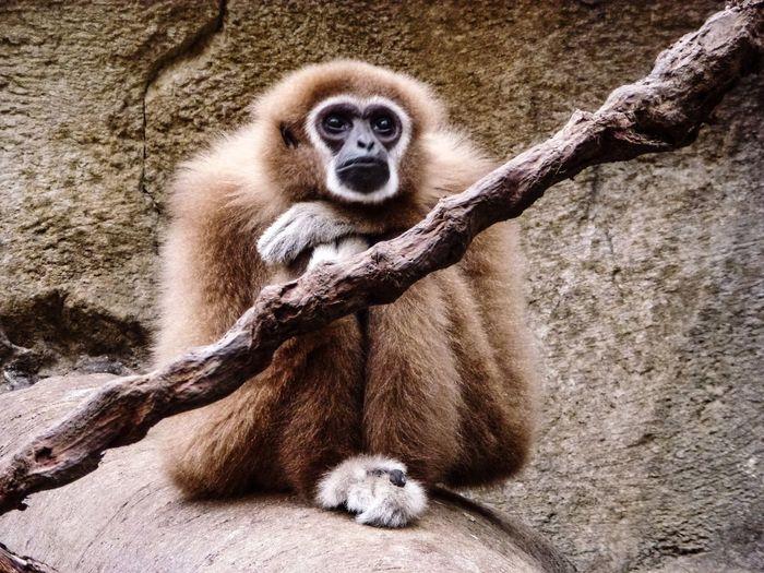 ape Lemur