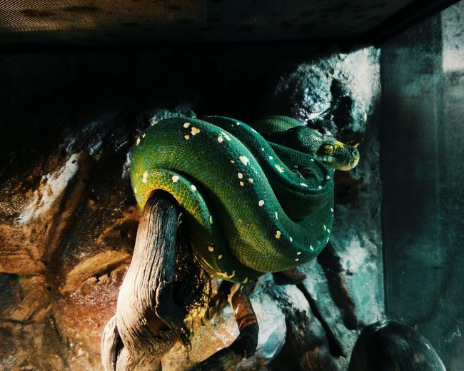 Animal Themes Animals In The Wild One Animal Reptile No People Indoors  Nature Animal Wildlife Close-up Animal Scale Snake ♥ Dangerous Beauty Greensnake