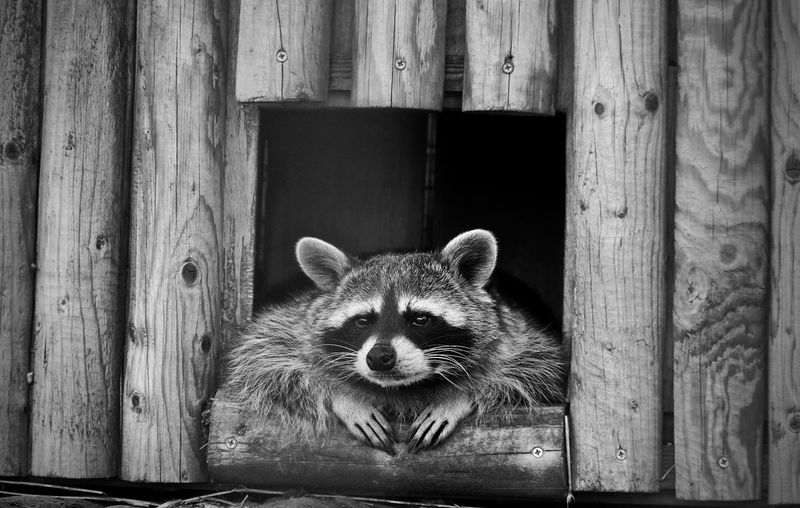 Portrait Of Raccoon Relaxing In Wooden House