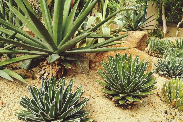 Cactus Growth Barrel Cactus Thorn Plant Nature Spiked Aloe Vera Plant Aloe Day Outdoors Potted Plant Green Color Saguaro Cactus Beauty In Nature Prickly Pear Cactus No People