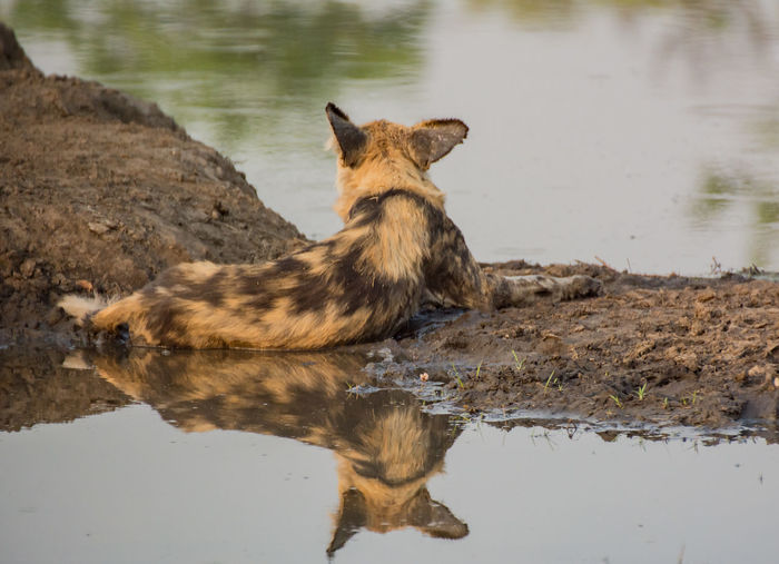 Hyena Sitting At Lakeshore In Forest
