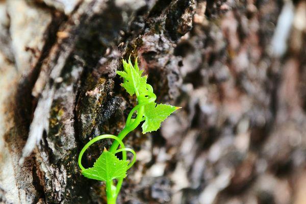 Poison ivy Plant Poisonivy