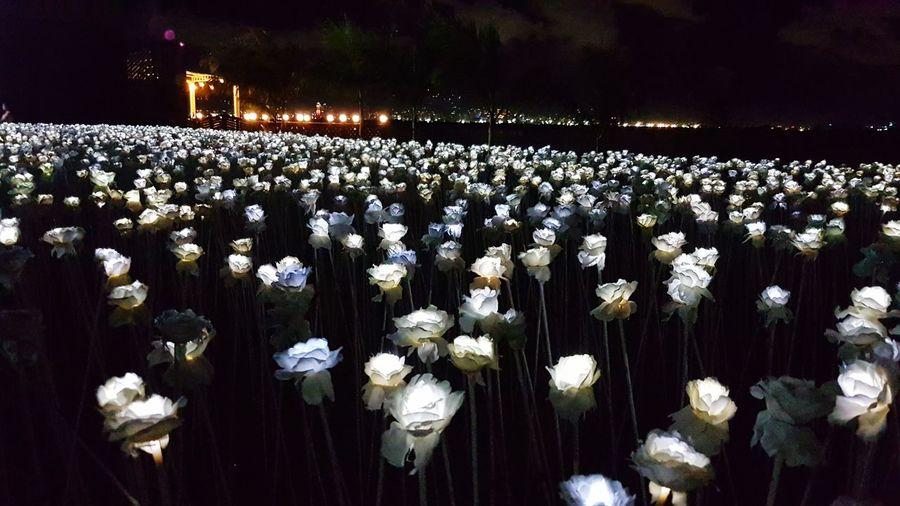 10000 Roses White Rose Flower Flower Flower Head Sky Plant Blooming