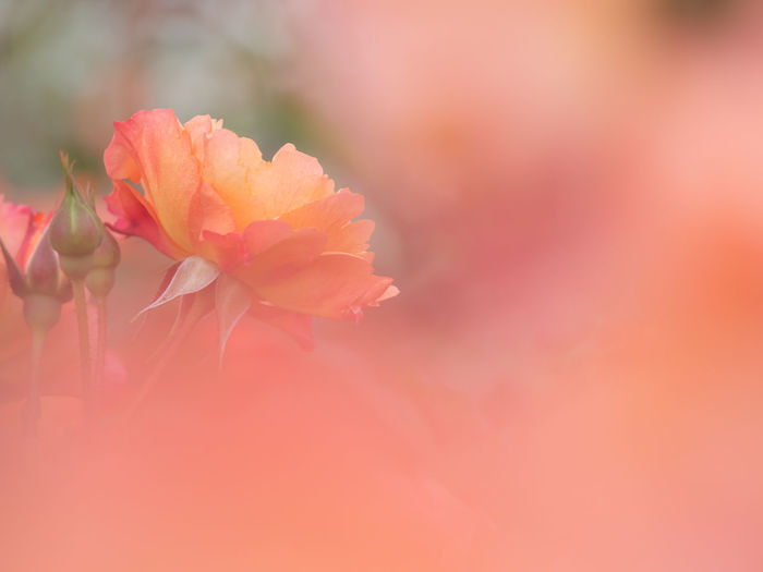 Beauty In Nature Close-up Flower Flower Head Flowering Plant Fragility Freshness Growth Inflorescence Nature No People Orange Color Outdoors Petal Pink Color Plant Red Selective Focus Softness Vulnerability