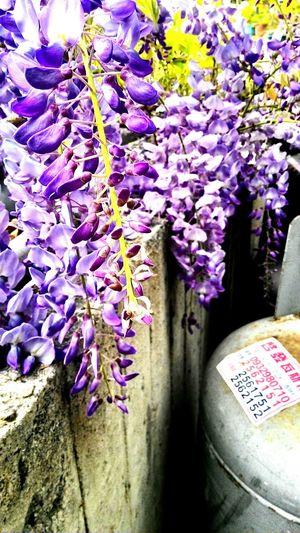 Wisteria Blooming Grandma Alishan Purple Flower Enjoying Life Beautiful