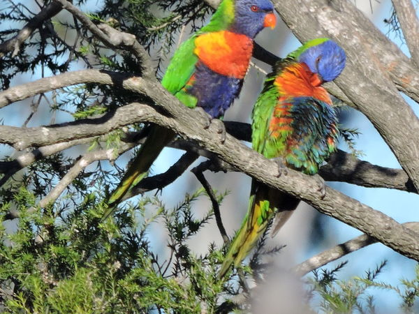 Rainbow Lorikeets😊 Birds Bird Photography Birds_collection Birds Of EyeEm  Bird Watching Birding Backyardphotography Backyard Birds Backyard Birder Backyard Photography Trees Nature Wildlife Rainbow Lorikeet Beautiful Colors Australia
