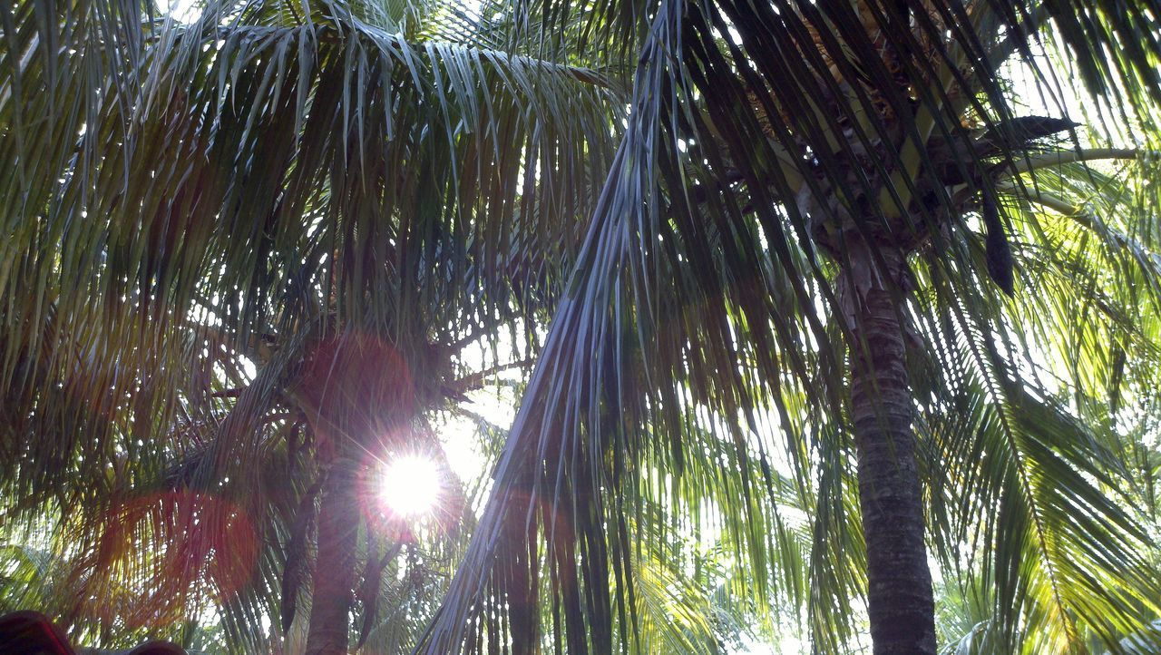 LOW ANGLE VIEW OF SUNLIGHT STREAMING THROUGH PALM TREES