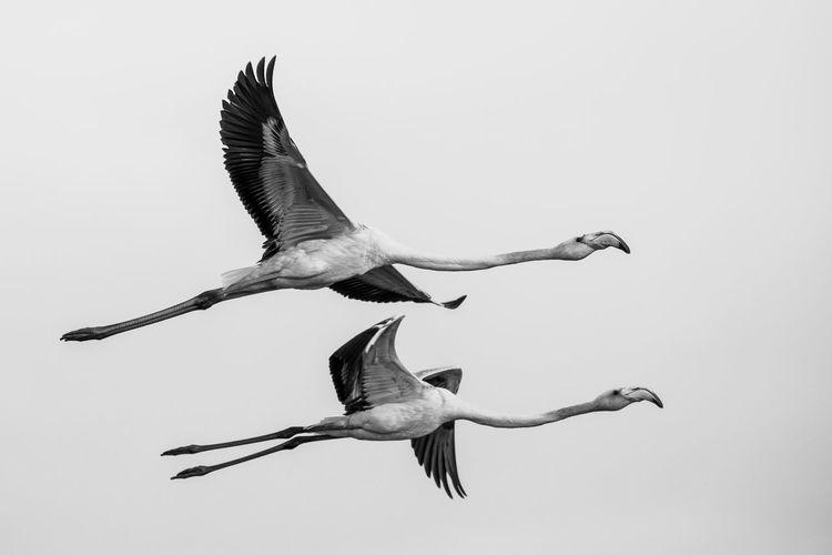 Flying Flamingo in Abu Dhabi, Al Wathba Wetland Reserve. EyeEm Gallery EyeEmNewHere Flamingo Wildlife & Nature Animal Themes Animal Wildlife Animals In The Wild Bird Blackandwhite Day Eye4photography  Flying Nature No People Outdoors Sky Spread Wings Wildlife