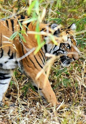 One Animal Tiger Animal Themes Animals In The Wild Mammal Outdoors Day Feline Animal Wildlife Grass Nature No People Leopard