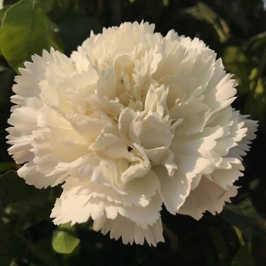 Flower Petal Growth Nature White Color Close-up Fragility Freshness Blooming Flower Head Beauty In Nature No People Plant Day Outdoors