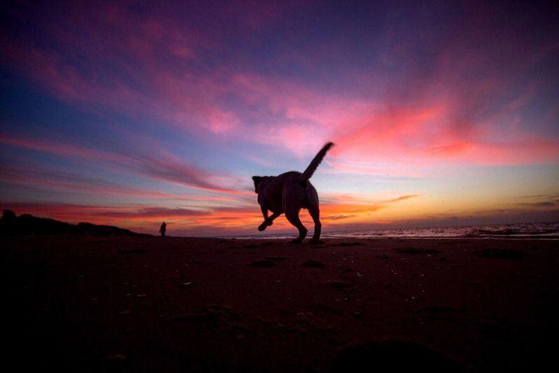 Silhouette dog running on beach against majestic sky at dusk