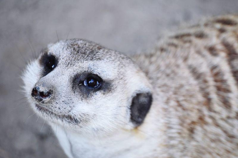 Meerkat EyeEm