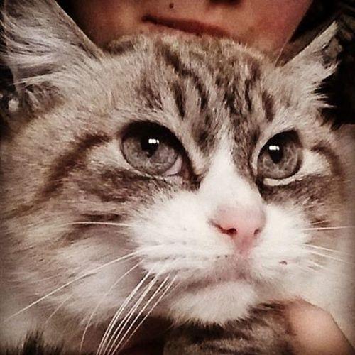 Luna Cat Miao Meow Gatta Nasinorosa OcchiBlu Occhigrigi Colorchampagne Champagne Beautiful Beautifulcat Lovely Lovelycat Occhioni Espressione Eyes Occhionidolci 😚 😚 Thenoiseofluna Musetto