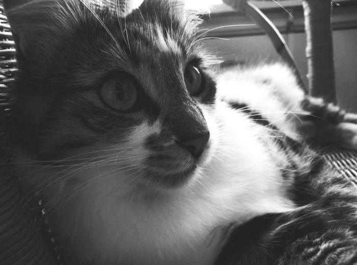 Cat Cat Lovers TurkishAngora Black And White Blackandwhite Rotan Rotanchair
