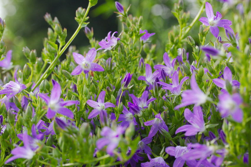 Campanula Patula Glockenblume Beauty In Nature Bellflower Close-up Day Flower Flower Head Flowerbed Flowering Plant Fragility Freshness Growth Inflorescence Land Leaf Nature No People Outdoors Plant Plant Part Purple Selective Focus Springtime Vulnerability