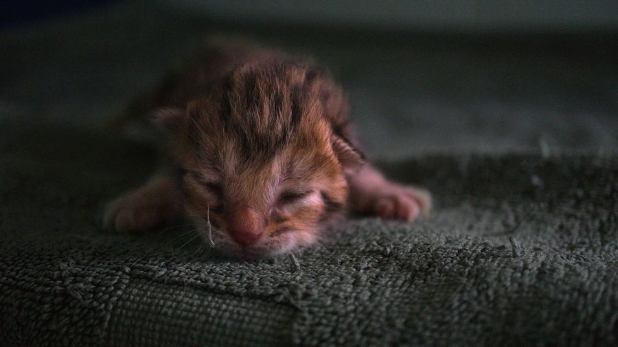 Close-Up Of Kitten Resting On Rug At Home