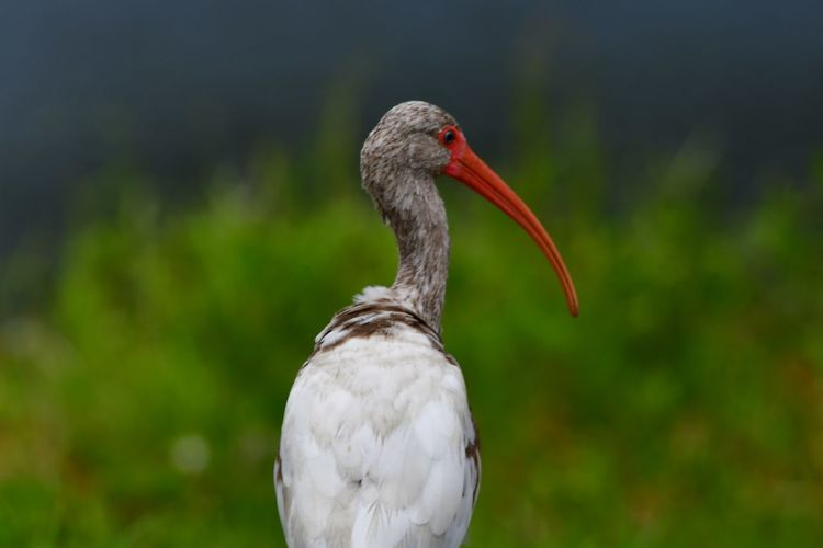 Young Ibis Bird