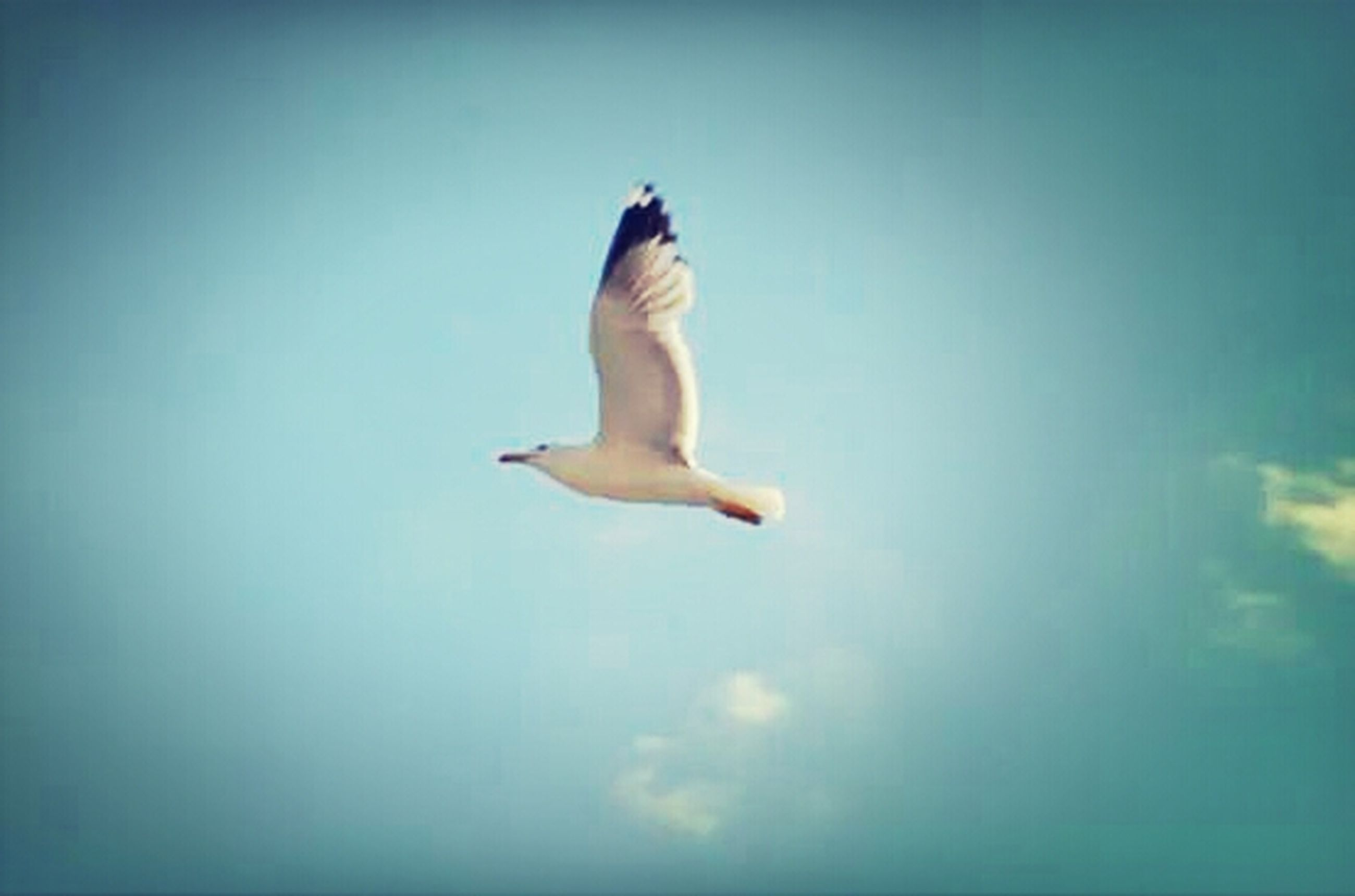 one animal, bird, animal themes, flying, spread wings, low angle view, mid-air, full length, copy space, wildlife, clear sky, sky, animals in the wild, blue, seagull, nature, freedom, side view, motion, beauty in nature