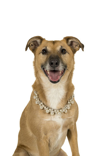 Little brown mixed breed dog sitting sideways wearing a pearl collar isolated in a white background looking at the camera Canine Dog One Animal Pets Domestic Domestic Animals Mammal Studio Shot White Background Portrait Indoors  Vertebrate Looking At Camera No People Cut Out Pet Collar Collar Mouth Open Mixed-breed Dog Pearls Pearl Jewelry Chic Fancy Dress Tongue Out Funny Dog