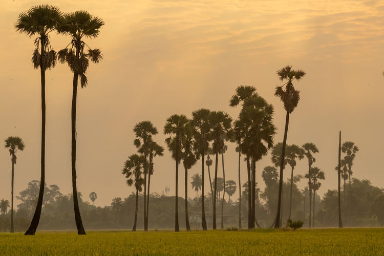 Sunrise at Dong Tan, Pathum Thani Tree Plant Palm Tree Sky Tropical Climate Beauty In Nature Growth Tranquility Nature Scenics - Nature Tranquil Scene Sunset Tree Trunk Land No People Trunk Field Coconut Palm Tree Outdoors Grass Tropical Tree