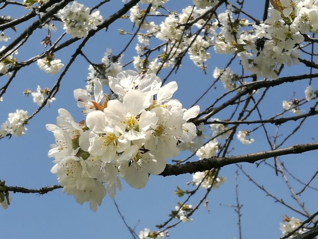 Flower Head Tree Clear Sky Springtime Plum Blossom Blue Petal Blossom Cherry Tree