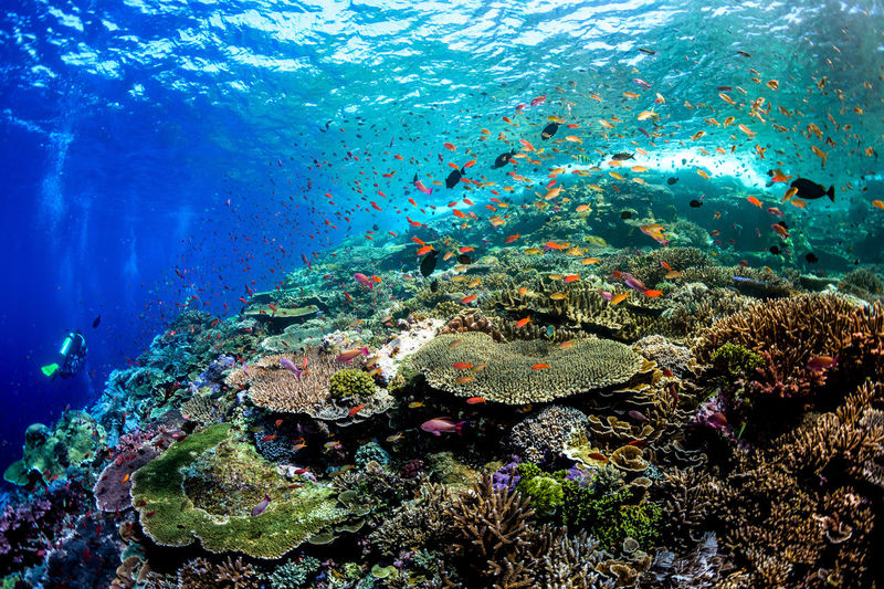 indonesia Underwater Sea Water UnderSea Sea Life Animals In The Wild Animal Wildlife Animal Themes Marine Animal Coral Fish Invertebrate Vertebrate Group Of Animals Large Group Of Animals Reef Swimming Nature No People School Of Fish Ecosystem  Outdoors