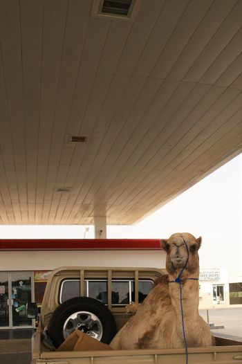 Portrait Of Camel In Pick-Up Truck