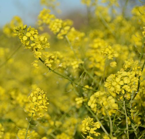 Israel Photography Izrael Vally Paint The Town Yellow Beauty In Nature Blooming Field Flower Growth Outdoors Plant Springtime Yellow