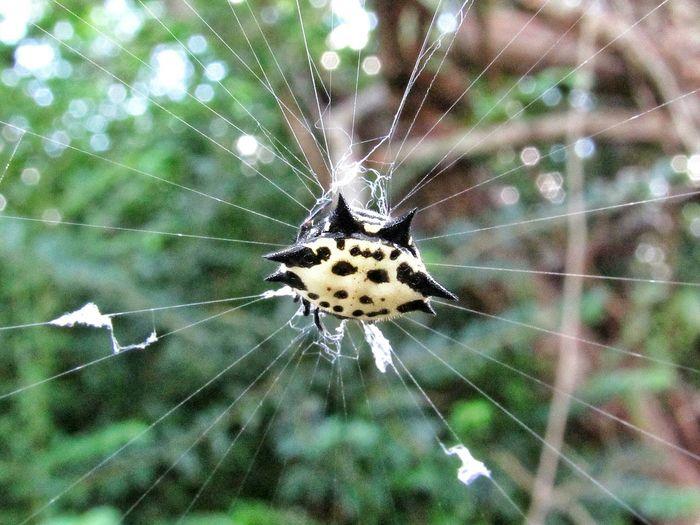 crabby spider