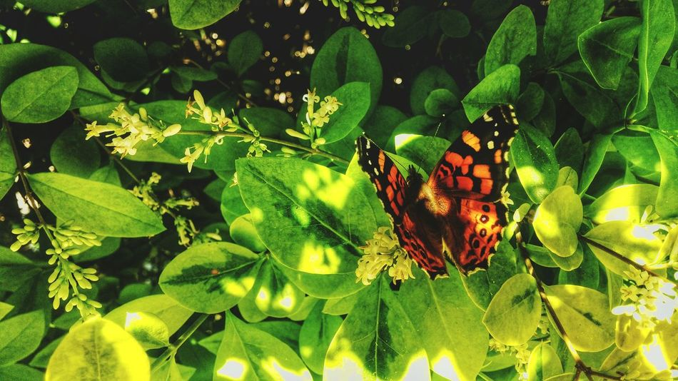 Taking Photos Butterfly ❤ First Eyeem Photo Wildlife Nature Botany No People Animals In The Wild Butterfly Butterfly Collection Butterfly Garden