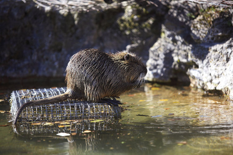 Side view of muskrat outdoors