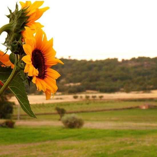 onde se meteu o sol? descansem, volta amanhã... where is the sun? rest, he back tomorrow... Girassol Sol Pordosol Sunflower Flower Sun Sunset