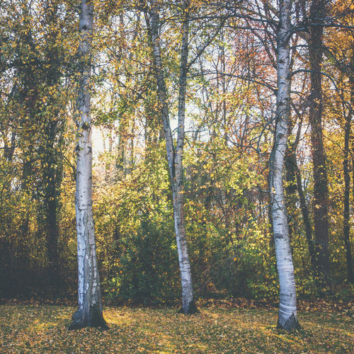 Autumn Mood Tree Forest Land Tranquility Nature Autumn Beauty In Nature Trunk Day Tree Trunk Growth Scenics - Nature No People Tranquil Scene WoodLand Sunlight Birch Tree Trio Three Outdoors Change Non-urban Scene