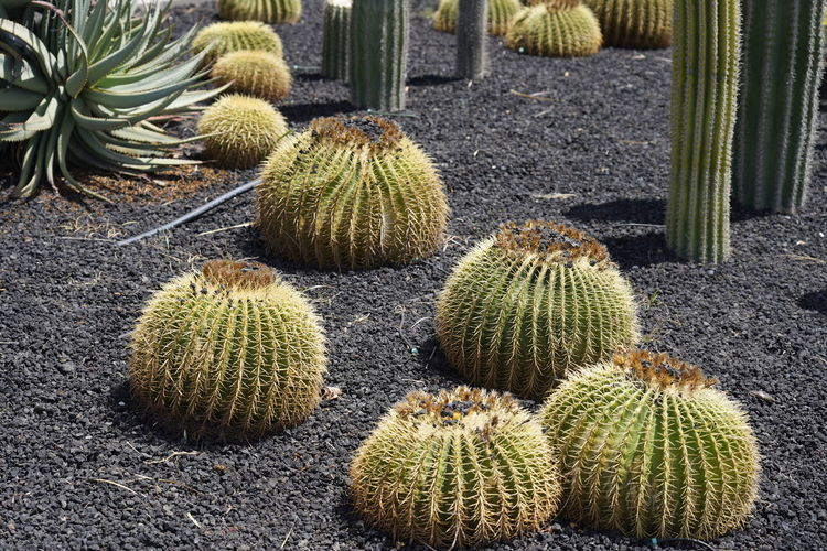 High angle view of cactus growing outdoors