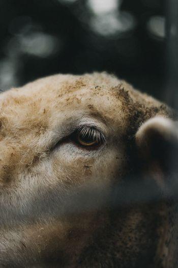 EyeEm Selects Mammal Animal Themes Domestic Animals One Animal Close-up Livestock Focus On Foreground No People Day Outdoors Eyelash