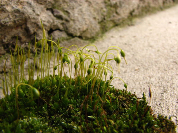 Close-up Focus On Foreground Fragility Gametophyte Green Green Color Moss Plant Pods Polytrichum Commune Sporophyte Surface Level Young Plant