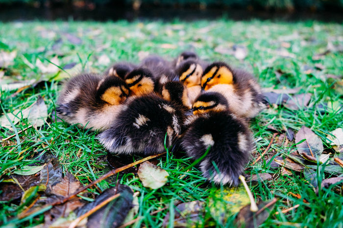 Autumn Baby EyeEm Nature Lover EyeEmNewHere Animal Themes Animal Wildlife Animals In The Wild Babyduck Beauty In Nature Chick Close Up Close-up Day Duck Eyes Grass Group Of Ducks Nature No People Outdoors Quack Togetherness Wildlife Young Animal The Week On EyeEm Pet Portraits Pet Portraits Be. Ready. Shades Of Winter